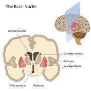 The basal nuclei of the brain - stock illustration
