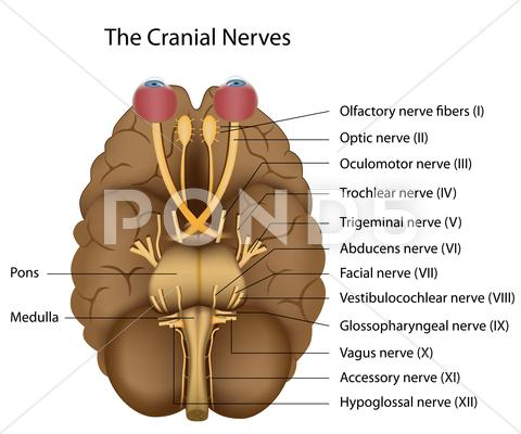Stock Illustration of The 12 cranial nerves