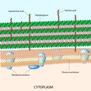 Gram positive bacterial cell wall Stock Illustration
