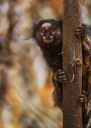 marmoset and a tree - stock photo