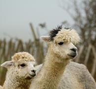 Alpaca mother and offspring - stock photo