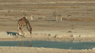 Giraffe at waterhole with zebras and springboks in background Stock Footage