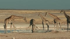 Group of Giraffes at waterhole in Etosha National Park Namibia Stock Footage