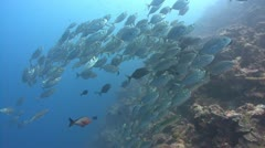 A large group of silver fish swim towards camera Stock Footage