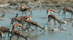 herd of springboks drinking water in Etosha National Park Namibia - stock footage