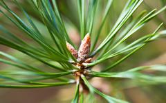 Young pine tree branch close view Stock Photos
