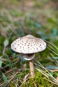 Spotted toxic toadstool in green moss Stock Photos