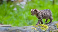 Young wild cat is balancing - stock photo