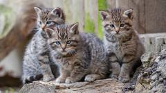 Three young wildcats Stock Photos