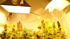 Indoor Marihuana Hydroponic system Stock Footage