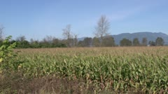 Agriculture, corn field with mountains in bg, nearing harvest, pan Stock Footage