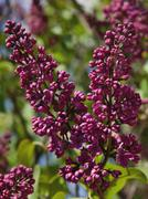 Dark lilac Stock Photos