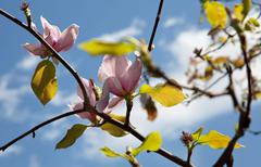 Stock Photo of magnolia 2