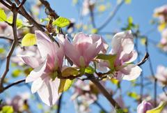 magnolia - stock photo