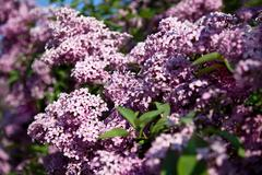 Stock Photo of pink lilac in botanical garden