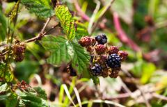Forest berry Stock Photos