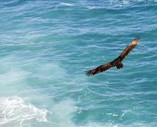 majestic bird soaring - stock photo