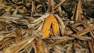 Corn Field and Cobs of Corn Stock Footage