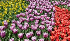 Three colours of tulips.jpg Stock Photos