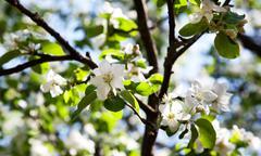 apple-tree blossom - stock photo