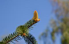 fir cone on fir branch - stock photo