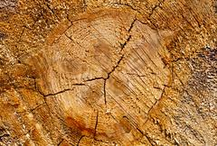 pine tree stump texture - stock photo