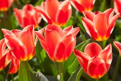 scarlet tulips - stock photo