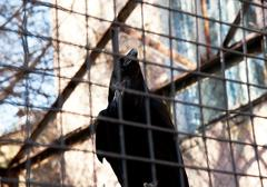 black raven - stock photo