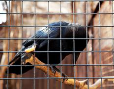 raven in cage - stock photo