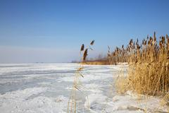 frozen cane on river in winter - stock photo