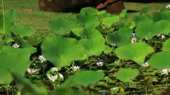 Pond Lilies 1 - stock footage