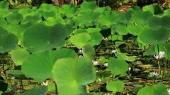 Pond Lilies 3 - stock footage