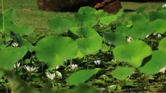 Stock Video Footage of Pond Lilies 5