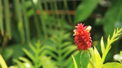 Ginger Flower - stock footage