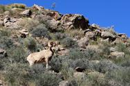 Stock Photo of desert bighorn sheep