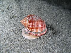 Living Shell underwater - stock photo