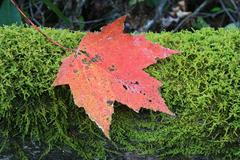 fall leaf on green moss - stock photo