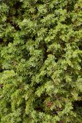 Stock Photo of branches of juniper - a background