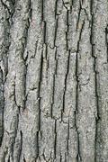 Tulip tree bark Stock Photos