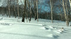 The person knee-deep in snow goes on the Russian winter forest on the affairs Stock Footage