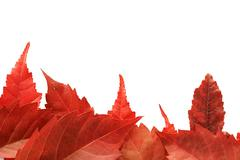 red fall leaf border - stock photo