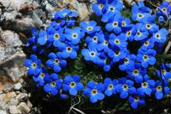 Alpine forget-me-not flowers Stock Photos
