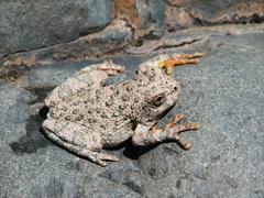 Canyon treefrog  hyla arenicolor Stock Photos