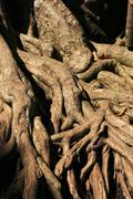 exposed tree roots - stock photo