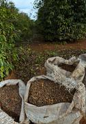 Coffee harvest in brazil - full bags and mundo novo trees in background Stock Photos