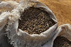 Coffee harvest in brazil - full bags with beans mundo novo trees - plus twigs Stock Photos