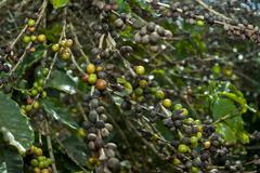Ripe coffee berries on  mundo novo trees Stock Photos
