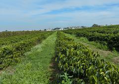 Coffee growing in brazil - rows of young mundo novo trees Stock Photos