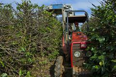 mechanized coffee harvest in brazil - stock photo