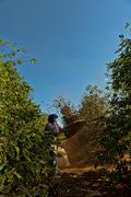 Coffee beans migrant worker sifting beans and chaff in rows between mundo novo Stock Photos